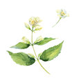 Branch of fragrant jasmine. Watercolor.