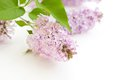 Branch fresh blooming lilac isolated on white background Royalty Free Stock Photos