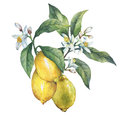 Branch of the fresh citrus fruit lemon with green leaves and flowers. Royalty Free Stock Photo