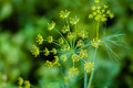 Branch of fresh green dill fennel flower on a background flower Royalty Free Stock Photos