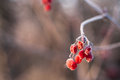 A branch of frozen berries at the blurred background Stock Photo