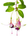 Branch fuchsia on white background Stock Image