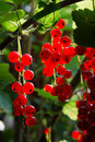 Branch full of fresh red currant Royalty Free Stock Photo