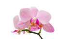 Branch of gentle pastel soft pink orchid isolated on white Stock Photos