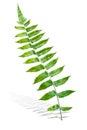 Branch of Green Fern Leaf Royalty Free Stock Photo