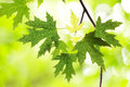 Branch with green maple leaves Stock Photos