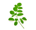 Branch of green moringa leaves,Tropical herbs Royalty Free Stock Photo