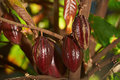Branch with group cocoa fruits Royalty Free Stock Photo