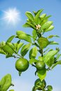 Branch with growing lemons Royalty Free Stock Photos