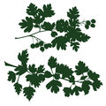 Branch of hawthorn silhouette the branches vector illustration Royalty Free Stock Photography