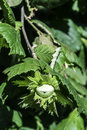 Branch with hazelnuts hazel tree plantation Royalty Free Stock Photography