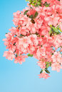 Branch heavy with pink azalea blooms droops under the weight of dense flower blossoms Royalty Free Stock Photography