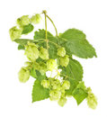 Branch of hop isolated on white background Stock Image
