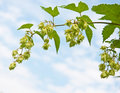 Branch of hops against sky Royalty Free Stock Images