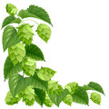 Branch of hops isolated on white background Stock Photography