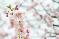 Branch of japanese cherry sakura blooming tree on the background Stock Photography