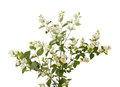 Branch of jasmine with flowers Royalty Free Stock Photo