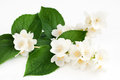 Branch of jasmine on a white background horizontal Royalty Free Stock Photo