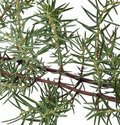 Branch of juniper Stock Images