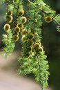 Branch of Larch tree with needles and cones