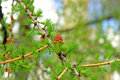 Branch of larch with the young needles and small cones in the sp Royalty Free Stock Photo
