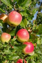 A branch with large ripe apples, lit by the sun Royalty Free Stock Photo