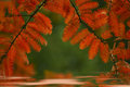 Branch with leaves of red color metasequoia tree reflected in the water, beautiful reflection in circles. Royalty Free Stock Photo