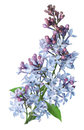 Branch Lilac Royalty Free Stock Photo