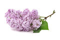 Branch of lilac Stock Photo