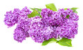 A branch of lilac Stock Photos