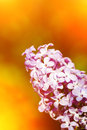 A branch of lilac flower in orange light Royalty Free Stock Photography