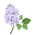 Branch of lilac flowers vector illustration isolated on a white background Stock Photos