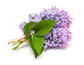 Branch of lilac isolated on a white background Royalty Free Stock Images