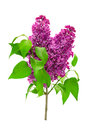 Branch lilac isolated on white Royalty Free Stock Photo