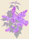 Branch of lilac.