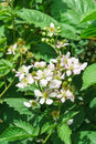 Branch lush flowering BlackBerry lat. Rubus in the garden Royalty Free Stock Photo