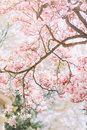 Branch of magnolia tree in bloom with tender pink flowers Royalty Free Stock Photo