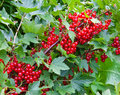 Branch of mature juicy red currant on a bush in a garden with berries Stock Images