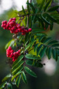 Branch of a mountain ash Royalty Free Stock Photography