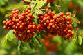 Branch of  mountain ash with ripe fruits Royalty Free Stock Photos