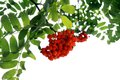 Branch of mountain ash on white background Royalty Free Stock Photos