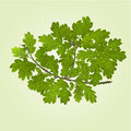 Branch of oak  with acorns natural background vector Royalty Free Stock Photo