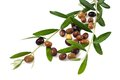 Branch with olives Royalty Free Stock Photo