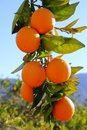 Branch orange tree fruits green leaves in Spain Royalty Free Stock Image