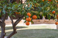 Branch Of Orange Tree