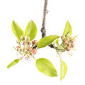 Branch of pear with flower buds and green leaves isolated on white background Royalty Free Stock Photo