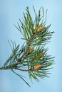 Branch of pine Royalty Free Stock Image