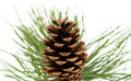 Branch with pine cone Royalty Free Stock Photography