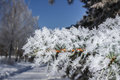 Branch pine covered hoarfrost park Royalty Free Stock Image