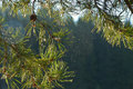 The branch of a pine with spider web in summer morting light Royalty Free Stock Photo